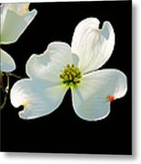 Dogwood Blossoms Painted For Jerry Metal Print