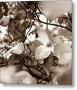 Dogwood Blossoms Metal Print by Sharon Popek