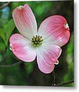 Dogwood Blosssom Metal Print