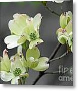 Dogwood In Bloom Metal Print