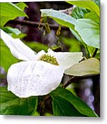 Dogwood In Yosemite Valley-2013 Metal Print