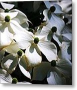 Dogwoods Caught In Central Park Metal Print