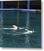 Dolphins Swimming Upside Down As Part Of Show Metal Print