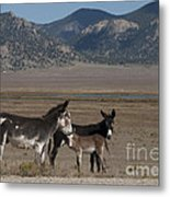 Donkeys In The Colorado Rockies Metal Print