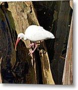 White Ibis Bird Metal Print