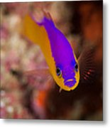 Dottybacks Reef Fish Metal Print