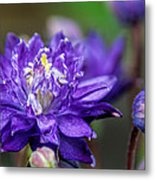 Double Blue Columbine Flower Metal Print