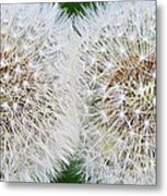 Double Dandelion Wishes Metal Print