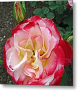 Double Delight Hybrid Tea Rose Metal Print