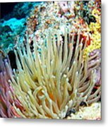 Double Giant Anemone And Arrow Crab Metal Print