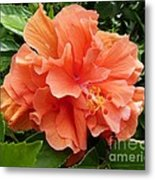 Double Peach Hibiscus Metal Print