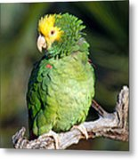 Double Yellow Headed Parrot Metal Print