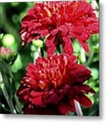 Doubled Red Mums Metal Print