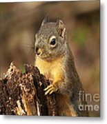 Douglas Squirrel On Stump Metal Print