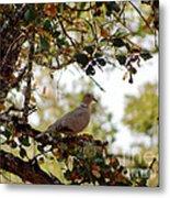 Dove In Autumn Oak Tree Lower Lake Ca Metal Print