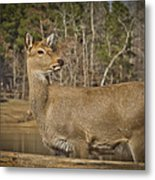 Down By The Duck Pond Metal Print