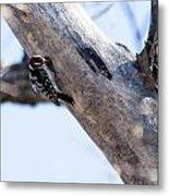 Downy Woodpecker Home Metal Print