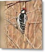 Downy Woodpecker In Brush Metal Print