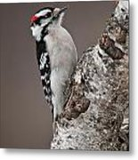 Downy Woodpecker Pictures 11 Metal Print