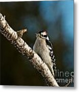 Downy Woodpecker Pictures 25 Metal Print