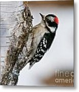 Downy Woodpecker Pictures 26 Metal Print