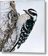 Downy Woodpecker Pictures 27 Metal Print