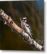 Downy Woodpecker Pictures 36 Metal Print
