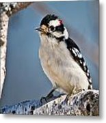 Downy Woodpecker Pictures 39 Metal Print