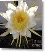 Dragon Fruit Bloom In The Morning Metal Print