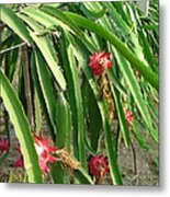 Dragon Fruit Tree Metal Print