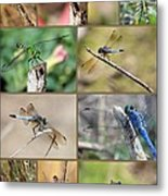 Dragonfly Collage 3 Metal Print
