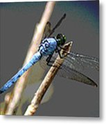 Dragonfly - Great Blue Skimmer Metal Print
