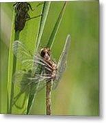 Dragonfly Metamorphosis - Eleventh In Series Metal Print
