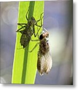 Dragonfly Metamorphosis - Fourth In Series Metal Print