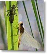 Dragonfly Metamorphosis - Seventh In Series Metal Print