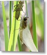 Dragonfly Metamorphosis - Sixth In Series Metal Print