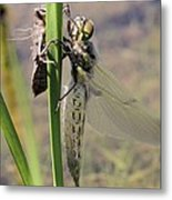 Dragonfly Newly Emerged - First In Series Metal Print