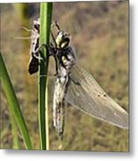 Dragonfly Newly Emerged - Second In Series Metal Print