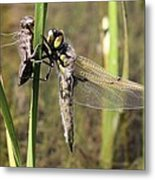 Dragonfly Newly Emerged - Third In Series Metal Print