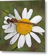 Dragonfly On A Daisy Metal Print