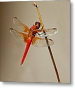 Dragonfly On Dead Reed Metal Print