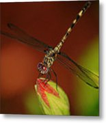 Dragonfly On Hibiscus Metal Print