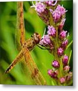 Dragonfly On Liatris Metal Print