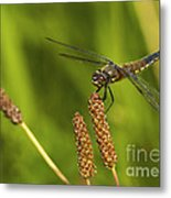 Dragonfly On Seed Pod 2 Metal Print
