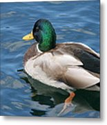 Green Headed Mallard Duck Metal Print