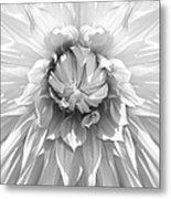 Dramatic White Dahlia Flower Monochrome Metal Print