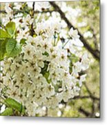 Dreamy White Cherry Blossoms - Impressions Of Spring Metal Print