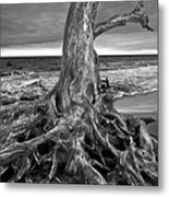Driftwood On Jekyll Island Black And White Metal Print