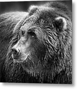 Drinking Grizzly Bear Black And White Metal Print