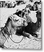 dromedary camels sitting in the sand with saddles in the sahara desert at Douz Tunisia Metal Print